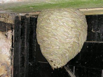 Vosí hnízdo sami nelikvidujte, zdroj: wikipedia.org